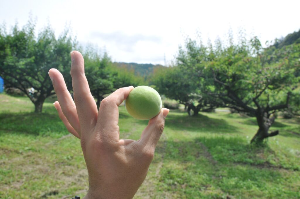 いなべ市梅林公園の梅のもぎ取り体験画像